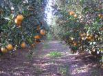 Jaffa-orange-grove