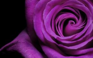 purlpe_blooming_rose-1280x800