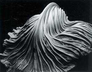 cabbage-leaf-1931