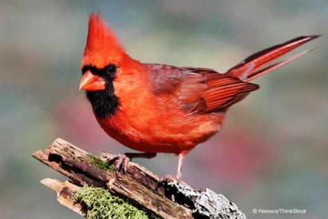 cardinal-bird