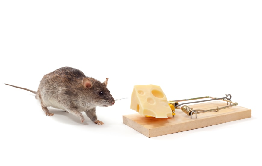 mouse with cheese and trap